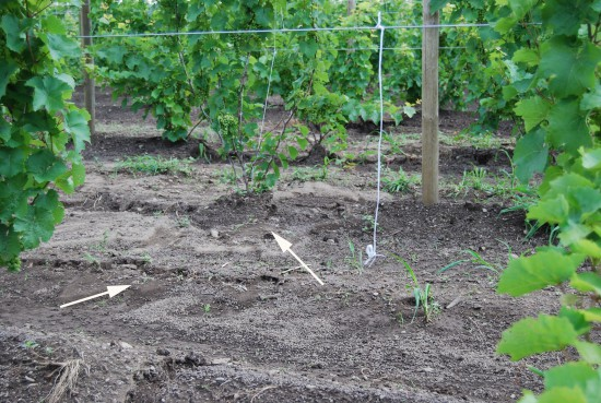 Year Of Planting Vineyard Design And Layout Lake Erie Regional