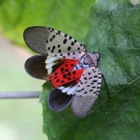 Spotted Lanternfly Found in Ithaca